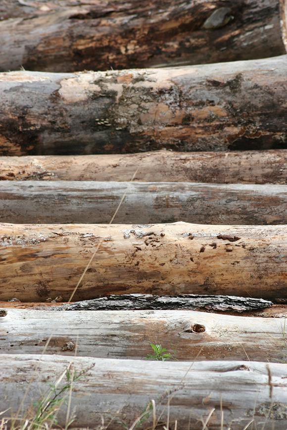 avbarkade trädstammar_580px bred